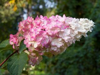 Hortensia Hydrangea vanille fraise