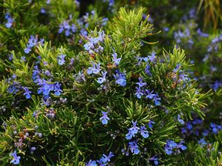 Plante aromatique qui ne craint pas secheresse