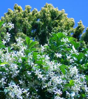 Trachelospermum jasminoides - jasmin etoile