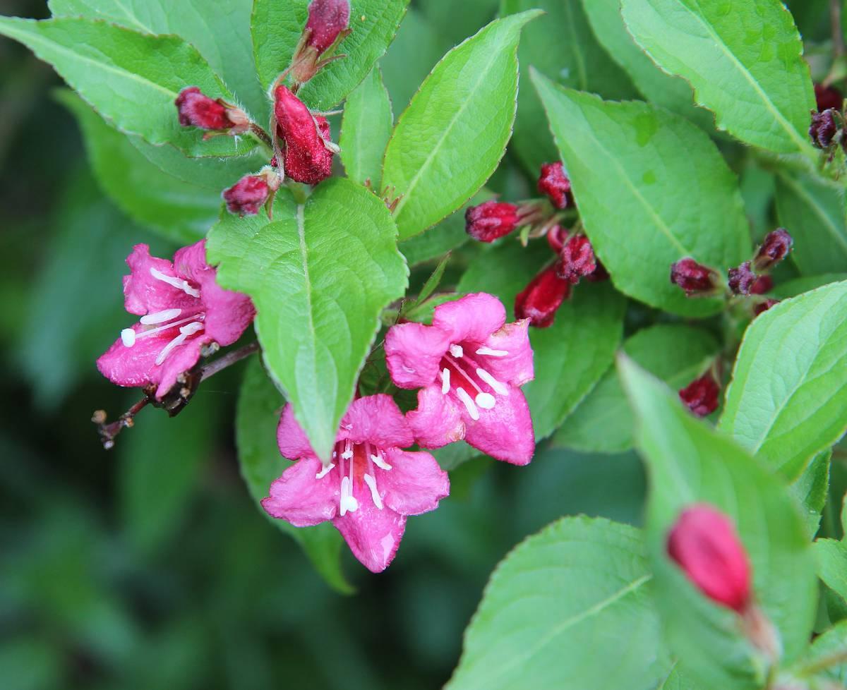 Très bel arbuste à la floraison généreuse et abondante, le weigélia attire  les regards par sa beauté ainsi que la couleur rose et blanche de ses fleurs .