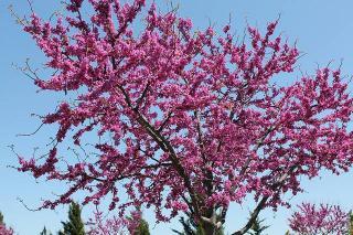 arbre de judee