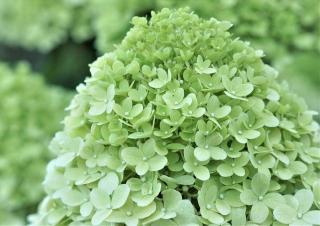arbuste a fleur verte