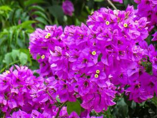 arbuste a fleurs secheresse