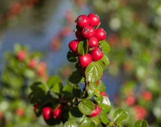 boule rouge cotoneaster
