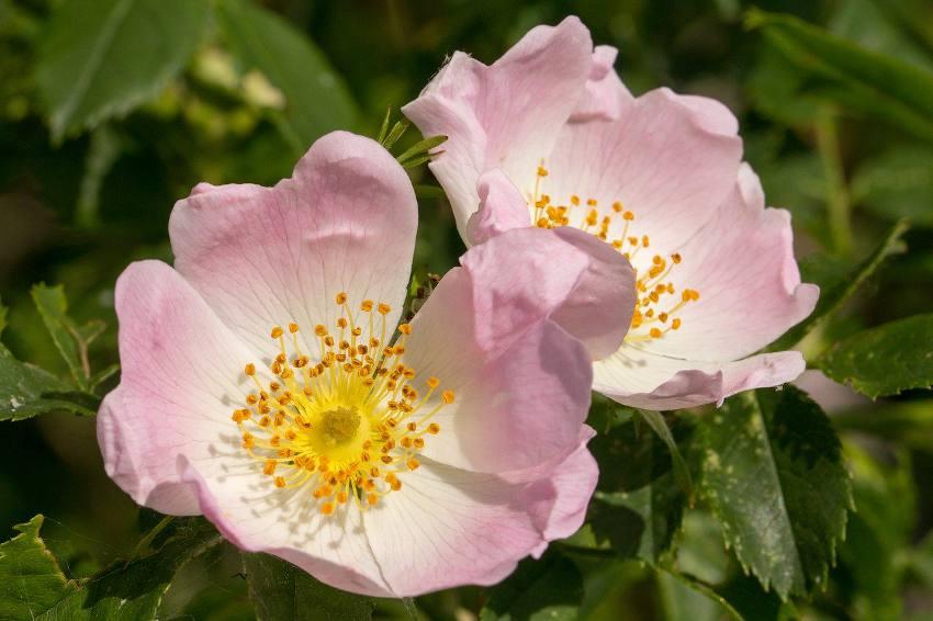 eglantier en fleur