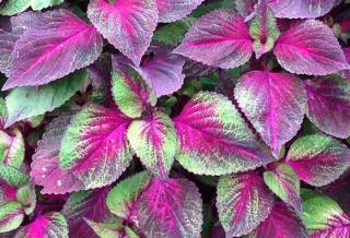 feuilles de shiso