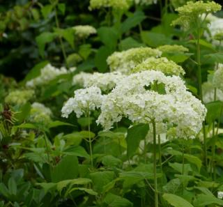 hydrangea annabelle hortensia