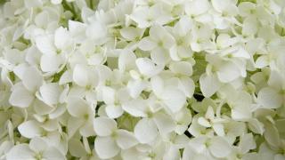 hydrangea annabelle hortensia floraison