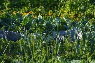 legume culture facile pour premier potager