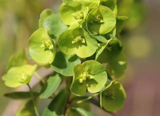 plante qui donne des fleurs vertes