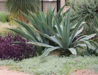 plante qui ne craint pas secheresse