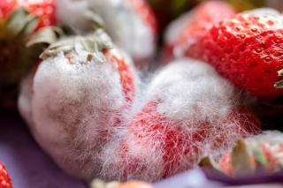 pourriture grise fraise - Botrytis