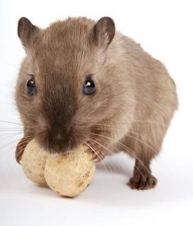 rat domestique alimentation