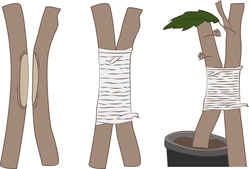 greffe par approche ou en arc-boutant
