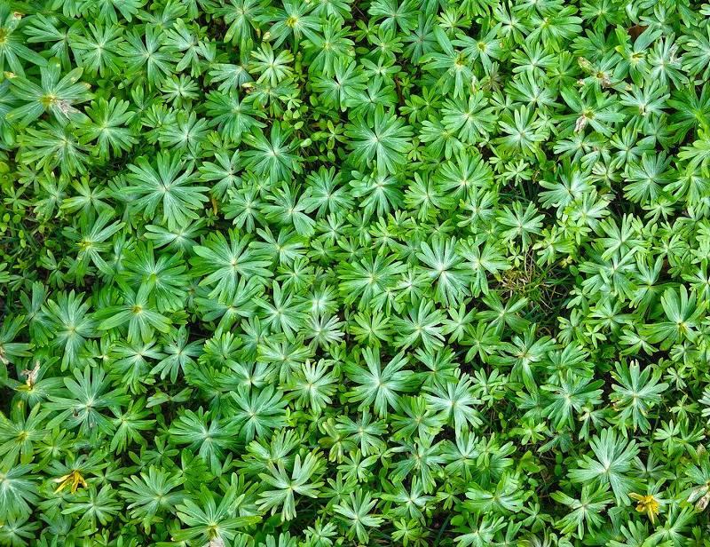 Plante pour remplacer la pelouse gazon