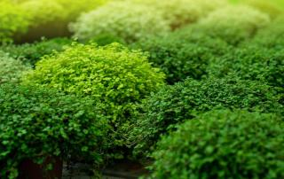 Plante pour remplacer pelouse gazon ombre