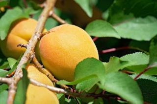 abricotier en pot balcon variete