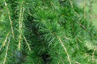 arbre qui resiste au froid montagne altitude