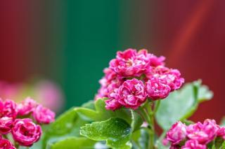 arbuste a fleur montagne altitude