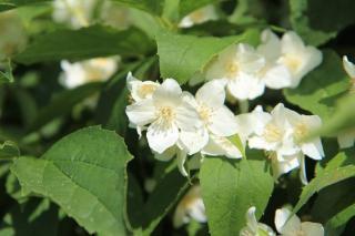 arbuste parfume
