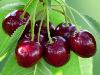cerisier en pot sur balcon variete naine