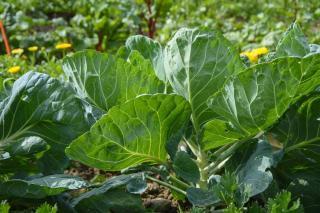 comment associer legume potager