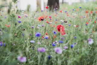 conseils pour faire une prairie fleurie