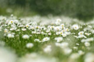 gazon fleuri sans entrtien