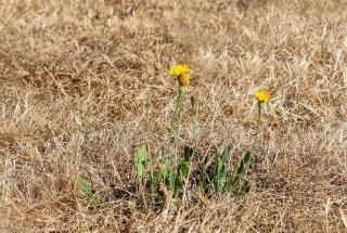 gazon pelouse qui jaunit