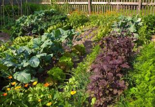 legume potager qui supporte secheresse manque eau