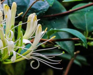plante grimpante persistante qui ne perd pas ses feuilles