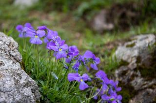 plante rocaille type montagneux