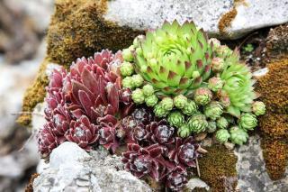 plantes ideales rocaille