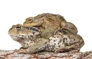 reproduction Crapaud