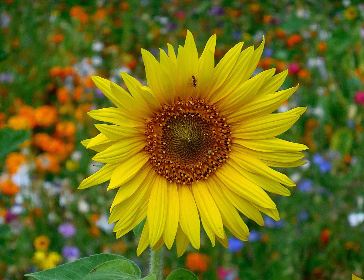 tournesol fleur