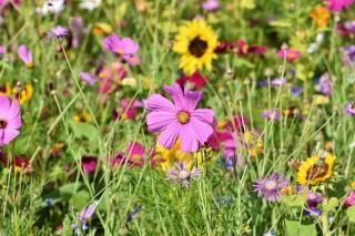 varietes fleurs pour prairie fleurie