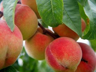 verger fruitier en ete