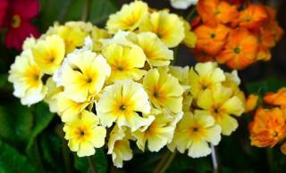Fleurs vivaces qui fleurissent au printemps