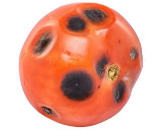 alternariose tomate