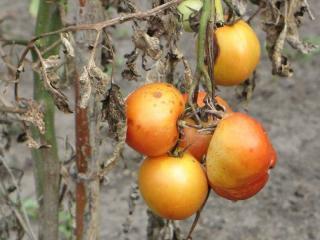 alternariose tomate recolte
