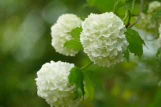 arbustes a fleurs blanches