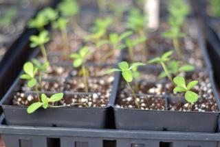 astuce eviter fonte des semis
