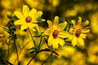 fleur vivace qui fleurit en ete