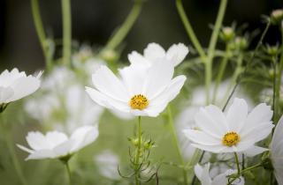 fleurs blanches a semer