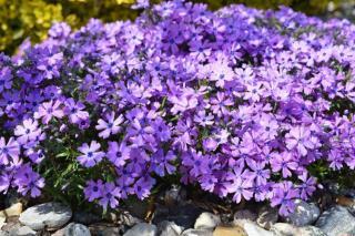 fleurs qui fleurissent longtemps