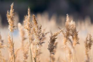 graminee allergie alllergene