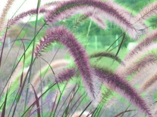 graminee vivace plante belle toute annee