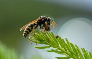 guepe utilite plante pollen