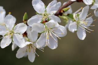 idee arbre a fleurs blanches