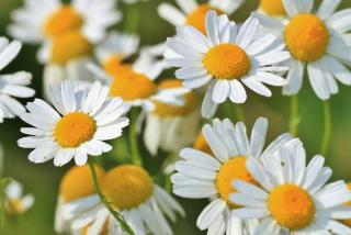 idee plantes fleurs blanches
